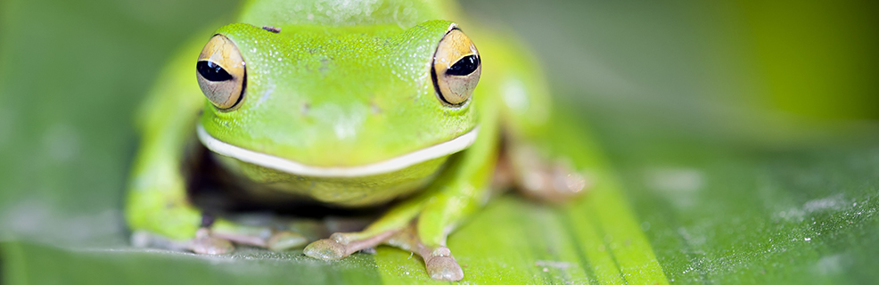 White-lipped Tree Frog, Granite Gorge Nature Park, Mareeba, Queensland, Australia