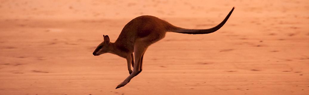 Agile Wallaby, Cape Hillsborough National Park, Queensland, Australia