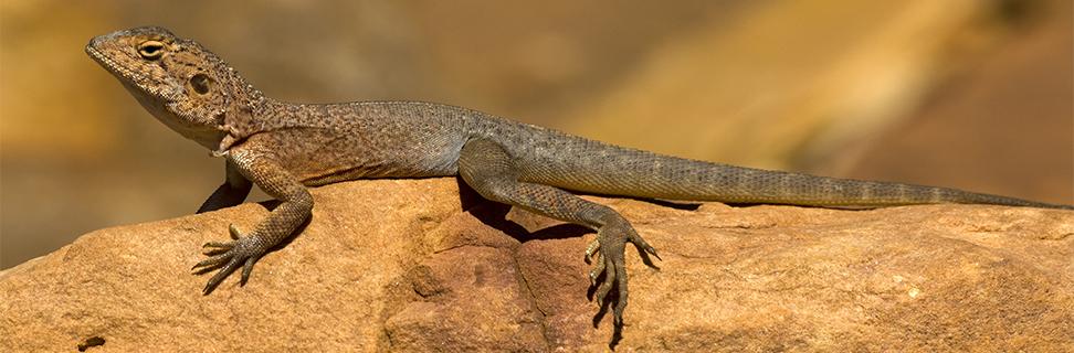 Ring-tailed Dragon, Watarrka (Kings Canyon) National Park, Northern Territory, Australia