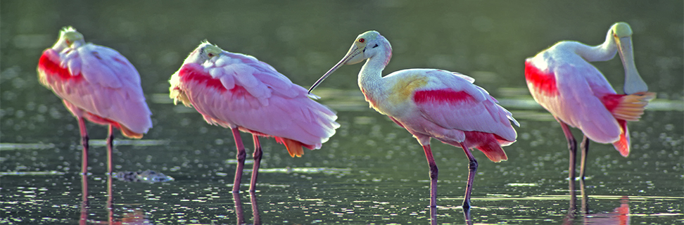 Roseate Spoonbills, Ding Darling National Wildlife Refuge, Florida, USA