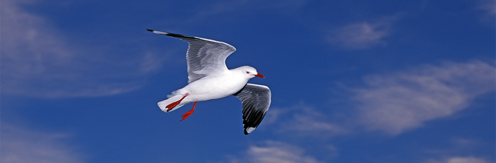 Silver Gull, Marlborough Sound, New Zealand