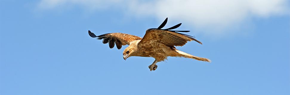 Whistling Kite, Mary River, Northern Territory, Australia
