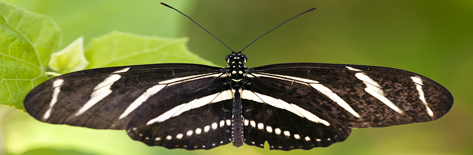 Zebra Longwing Butterfly, Naples Botanical Gardens, Florida, USA