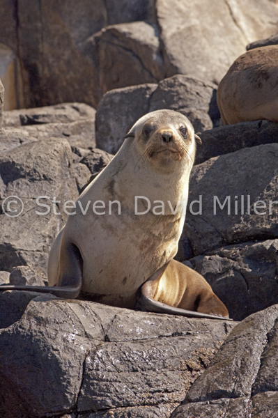 Australian Fur-seal