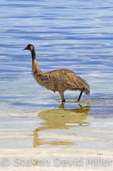 Coffin Bay Emu