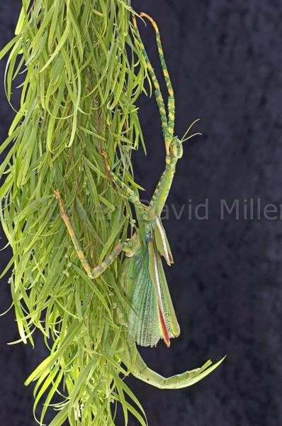 Goliath Stick Insect