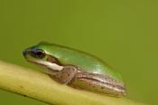 eastern-dwarf-tree-frog-picture;eastern-dwarf-tree-frog;eastern-sedge-frog;green-reed-frog;dwarf-tre