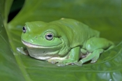 green-tree-frog-picture;green-tree-frog;green-treefrog;common-green-tree-frog;dunny-frog;northern-gr
