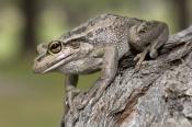 motorbike-frog-picture;motorbike-frog;motor-bike-frog;western-green-tree-frog;moores-frog;western-be