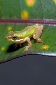 northern-dwarf-green-tree-frog-picture;northern-dwarf-green-tree-frog;northern-dwarf-green-treefrog;