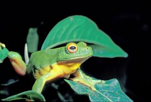 red-eyed tree frog picture;red-eyed tree frog;red eyed tree frog;red eyed treefrog;orange-eyed tree frog;raucous tree frog;southern orange-eyed tree frog;litoria chloris;australian tree frogs;australian treefrogs;lamington national park;green mountains;binna burra;queensland;steven david miller