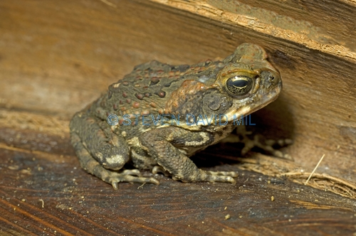 cane toad picture;cane toad;cane toads;marine toad;marine toads;bufo marinus;amphibian;amphibians;central american toad;south american toad;introduced toad;introduced species;non-native toad;non-native species;invasive species;poisonous toad;poison toad;venemous toad;grumpy;single;one;brown;mottled;cairns;queensland;north queensland;steven david miller