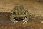 cane-toad-picture;cane-toad;cane-toads;marine-toad;marine-toads;bufo-marinus;amphibian;amphibians;ce