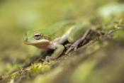 squirrel-treefrog-picture;squirrel-tree-frog-picture;squirrel-treefrog;squirrel-tree-frog;tree-frog;