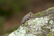 oak-toad-picture;oak-toad;toad;american-toad;smallest-toad;tiny-toad;anaxyrus-quercicus;bufo-quercic