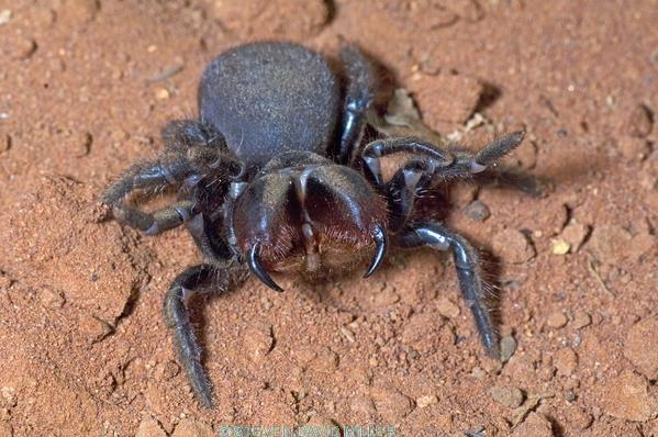 red-headed mouse spider picture;red-headed mouse picture;mouse spider;red-headed mouse spider;red headed mouse spider;missulena occatoria;spider fangs;spider threat display;steven david miller;venomous spider;natural wanders