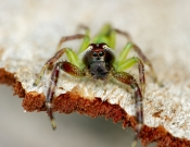 Family Salticidae: Jumping Spider