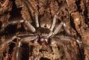 ARACHNIDS;ARTHROPODS;AUSTRALIA;FACES;HETEROPODA-VENATORIA;INVERTEBRATES;MOUTHS;SPIDERS