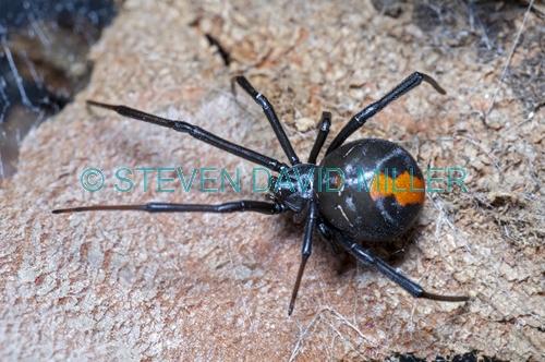 redback spider picture;redback spider;red back spider;latrodectus mactans;steven david miller;venemous spider;natural wanders