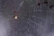 argiope-spider-web-picture;argiope-spider-web;spider-web;spider-in-web;spider-web-with-dew-s;web-wit