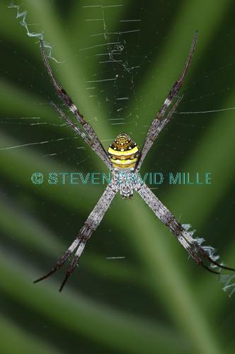 st andrew's cross spider picture;st andrew's cross spider;argiope keyserlingi;spider;australian spider;spider in web;cairns botanical gardens;steven david miller;natural wanders