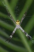 st-andrews-cross-spider-picture;st-andrews-cross-spider;argiope-keyserlingi;spider;australian-spider