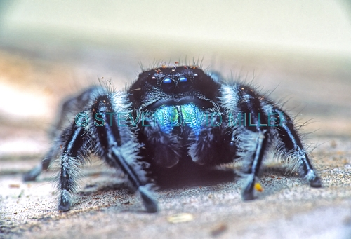 jumping spider picture;jumping spider;phidippus audax;black and blue jumping spider;spider chlicera;spider with blue chlicera;florida jumping spider;florida spider;spider with hairy legs;hairy spider