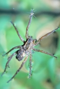 wolf-spider;lycosidae-lenta;spider;spider-floating-on-water;spider-with-spiderlings-on-back;spider-w