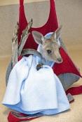 eastern-grey-kangaroo-picture;eastern-grey-kangaroo;eastern-gray-kangaroo;joey-eastern-grey-kangaroo