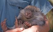 common-womat;young-wombat;wombat-walking;orphaned-wombat;vombatus-ursinus;tasmanian-wombat;bonorong-