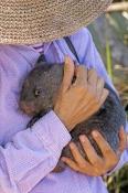 common-womat;young-wombat;orphaned-wombat;vombatus-ursinus;tasmanian-wombat;bonorong-wildlife-park;w