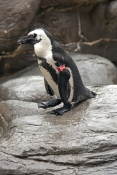 african-black-footed-penguin-picture;african-black-footed-penguin;african-penguin;spheniscus-demersu