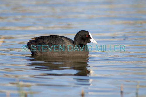 eurasian coot picture;eurasian coot;coot;fulica atra;black coot;australian coot;australian birds;bird in water;bird swimming;red eyes;muloorina station;outback wetland;bore wetland;oodnadatta track;south australia;one;single;black;steven david miller;natural wanders