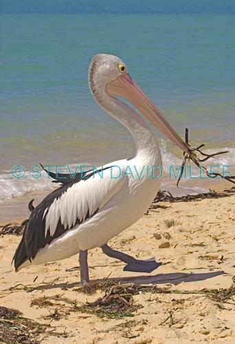 australian pelican picture;australian pelican;pelican;pelecanus conspicillatus;pelican carrying seaweed;pelican playing with seaweed;pelican playing;steven david miller;monkey mia;shark bay;western australia;natural wanders
