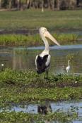 australian-pelican-flying;australian-pelican;pelecanus-conspicillatus;pelican-on-floodplain;wetland;
