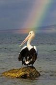australian-pelican-picture;australian-pelican;pelecanus-conspicillatus;pelican-standing-on-rock;peli