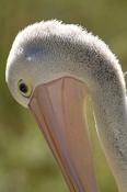 australian-pelican-picture;australian-pelican;pelecanus-conspicillatus;pelican;pelican-portrait;peli