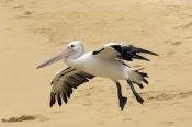 australian-pelican-picture;australian-pelican;pelecanus-conspicillatus;australian-pelican-flying;pel