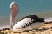 australian-pelican-picture;australian-pelican;pelican;pelecanus-conspicillatus;pelican-carrying-seaw