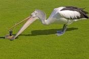 australian-pelican-picture;australian-pelican;pelican;pelecanus-conspicillatus;pelican-drinking-wate