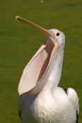 australian-pelican-picture;australian-pelican;pelican;pelecanus-conspicillatus;pelican-with-open-pou