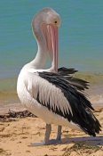 australian-pelican-picture;australian-pelican;pelican;pelecanus-conspicillatus;pelican-preening-on-b