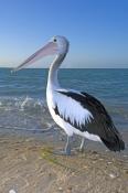 australian-pelican-picture;australian-pelican;pelican;pelecanus-conspicillatus;pelican-standing-on-b