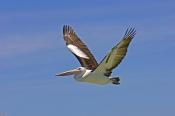 australian-pelican-picture;australian-pelican;pelecanus-conspicillatus;australian-pelican-flying;bir