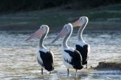 australian-pelican-picture;australian-pelican;pelican;pelecanus-conspicillatus;pelicans;pelicans-in-