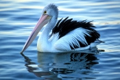 australian-pelican-picture;australian-pelican;pelecanus-conspicillatus;pelican-swimming;pelican-in-w