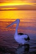 australian-pelican-picture;australian-pelican;pelican;pelecanus-conspicillatus;pelican-sleeping-on-b