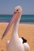 AUSTRALIA;BEACHES;BIRDS;COASTS;PELICANS;PORTRAITS;SEABIRDS;VERTEBRATES