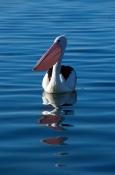 AUSTRALIA;BIRDS;PELECANUS-CONSPICILLATUS;PELICANS;PORTRAITS;REFLECTIONS;SEABIRDS;SURFACE;SWIMMING;VE