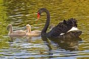 black-swan-picture;black-swan;black-swan-with-signet;black-swan-signet;black-swan-family;cygnus-atra